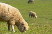 """Actividad: Compartimento """"Valor agregado para el ovino"""""""