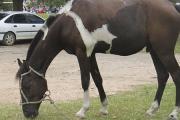 """Curso Optativo: """"Actualización en bienestar animal en equinos"""""""