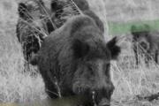 Jornada de vigilancia sanitaria y control en Jabalíes y Cerdos asilvestrados