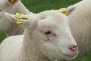 """Curso: """"Temas a tener en cuenta para aumentar la sobrevida de corderos en las condiciones de cría de nuestro país"""""""